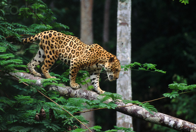 Ocelotl Jaguar stalking on a tree